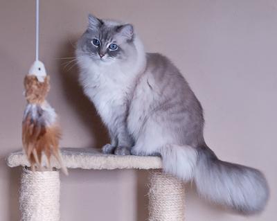 Ragdoll cat full maturity